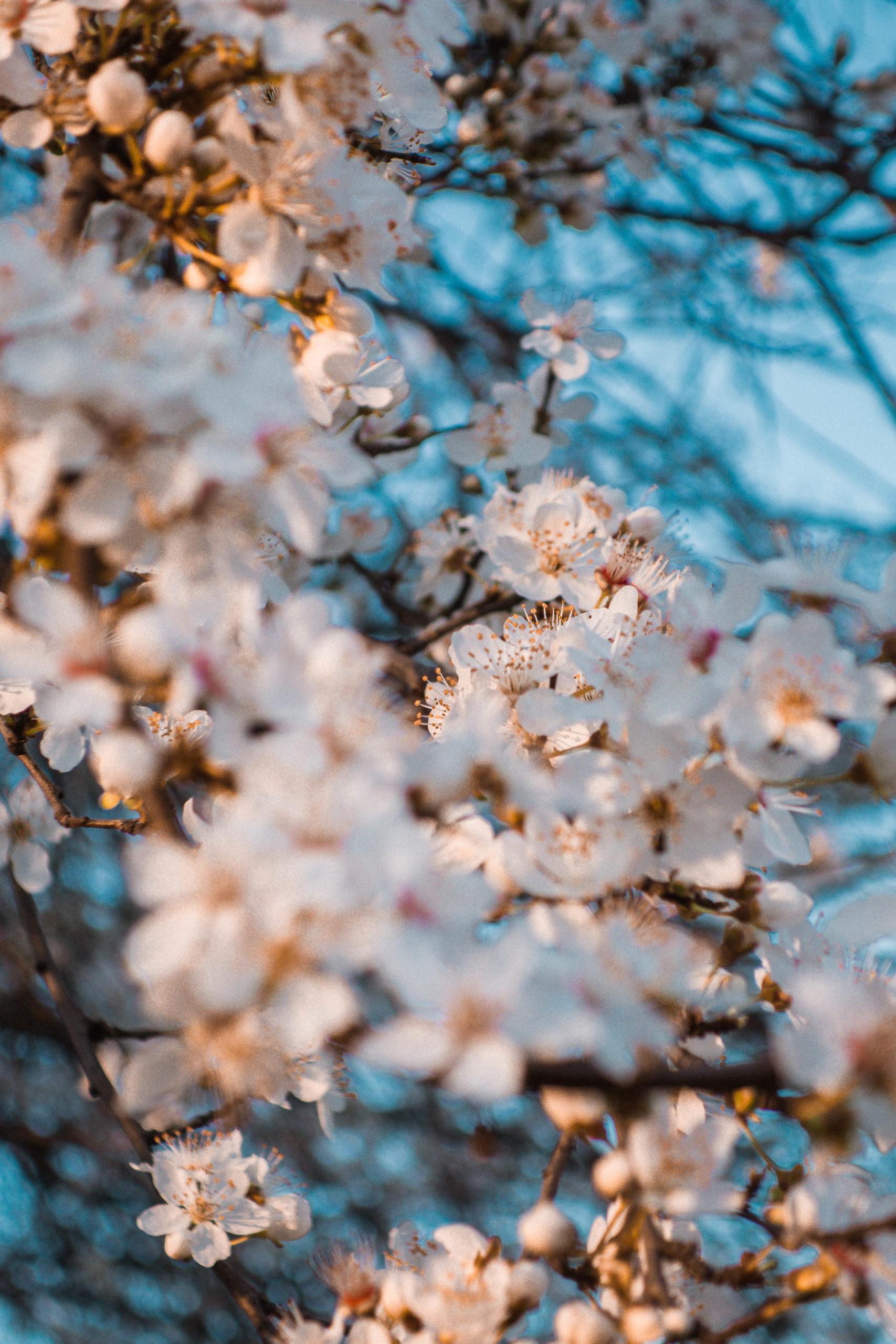 fiori di ciliegio in fiore
